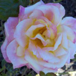 Jen-Rose-Pix-From-Rose-Garden